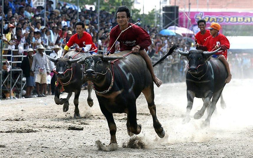 Buffalo Racing Festival (Wing Kwai)